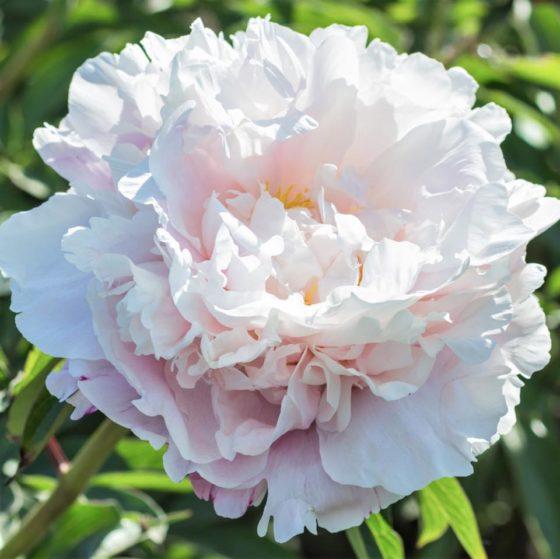 Bos pioenen gardenia